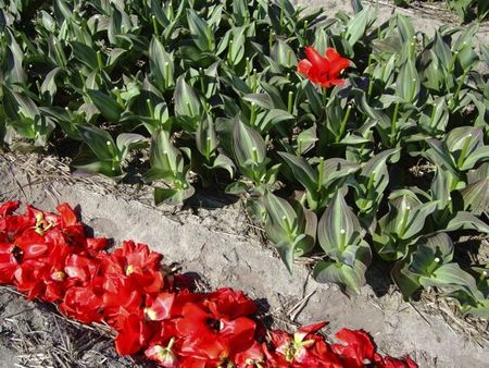 Deheaded tulips