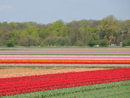 Multi colour tulip fields