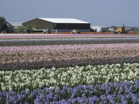 Old cars and hyacinth fields