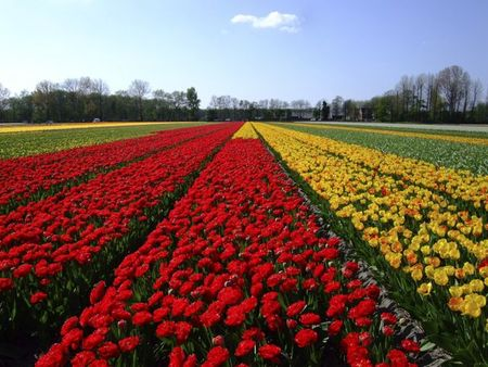 Red and yellow tulip fields