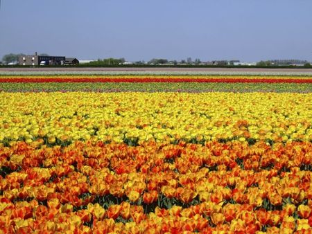 Orange and yellow tulip fields