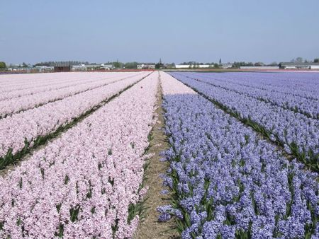 Pale pink and blue hyacinth fields