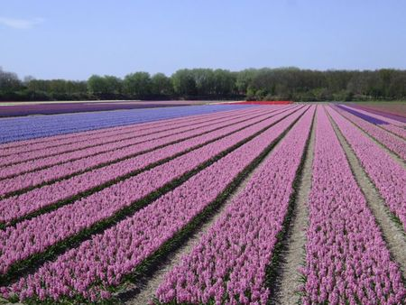 Pink hyacinth fields