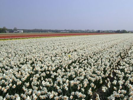 White narcissus fields