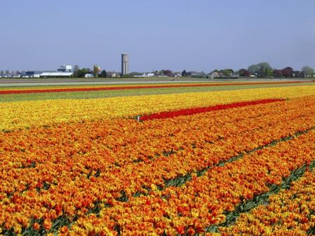 Yellow orange and red strip tulip fields