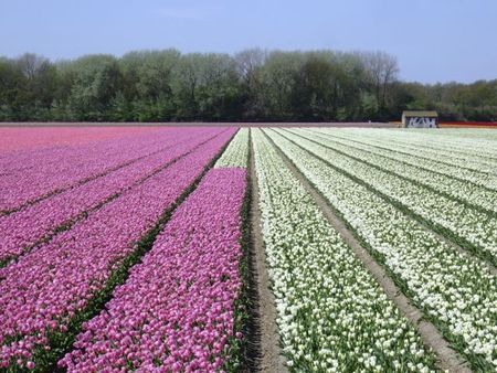 Pink and white tulip fields