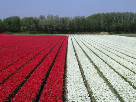 Red and white tulip fields