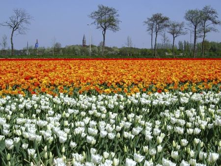 White and orange tulips