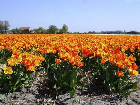 Red and orange tulip fields