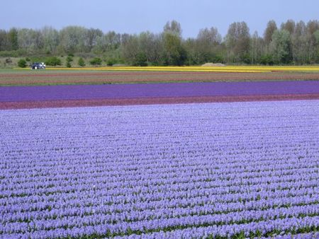 Blue hyacinth fields with water tractor