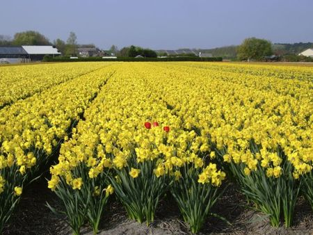 Yellow narcissus fields