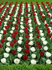 Keukenhof 2006 red and white tulips